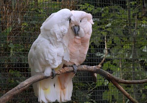 Cockatoo, White Pink, Cage, Together, Affection