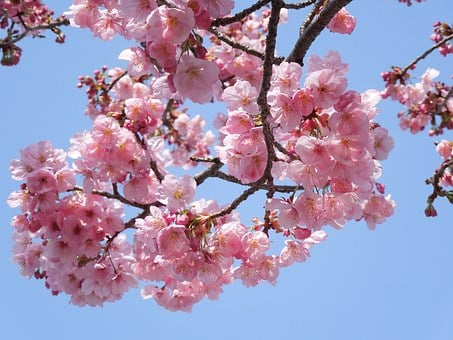 Cherry Blossoms, Samusakura, Spring Flowers