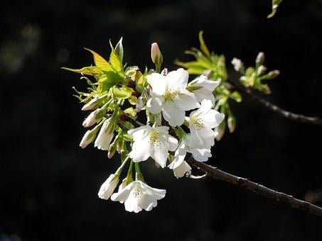 Cherry Blossoms, Spring Flowers, Spring In Japan
