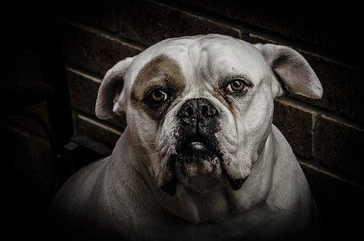Dog, Animal, Boxer, Dogs, Clarity, Sharp, Sharpness