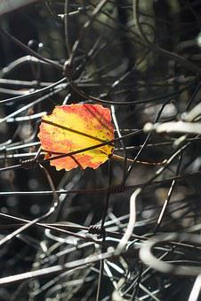Leaf, Alder, Colorful, Yellow, Orange, Autumn, Shining