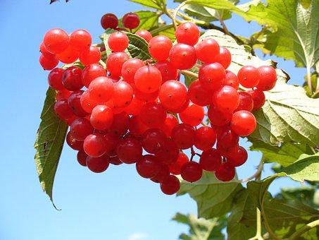 Cranberry, Cranberries, Bush, Sky, Clouds, Summer