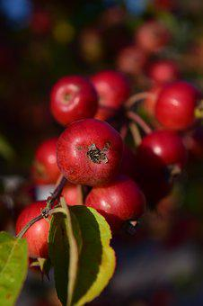 Zieraepfel, Apple, Fruits, Small, Red, Fruit