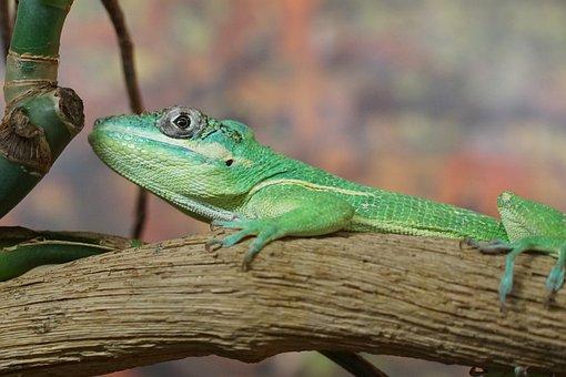 Ritteranolis, Lizard, Schuppenkriechtier, Iguana-like