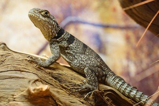 Spiny-tail Iguana, Schuppenkriechtier, Lizard, Reptile