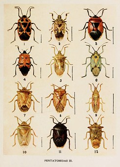 Insect, Painting, Harold, Maxwell, Lefroy, Pentatomidae