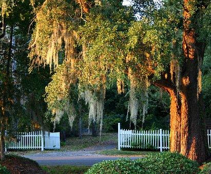 Spanish Moss, Live Oak, Picket Fence, South Carolina