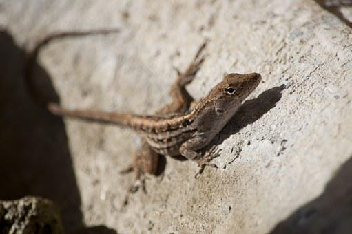 Lizard, Reptile, Anole, Animal, Wildlife, Wild, Rock