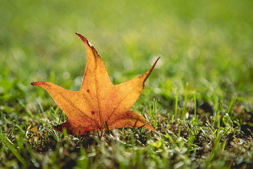 Maple Leaf, Autumn, Grass, Fall, Leaf, Nature, Macro