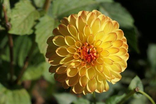 Dahlia, Flower, Yellow Flower, Petals, Yellow Petals