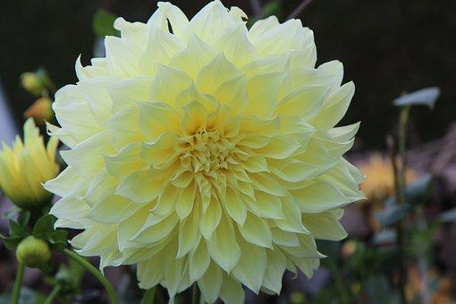 Dahlia, Flower, Yellow Flower, Garden, Yellow Petals