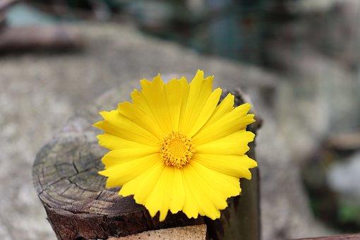 Flower, Yellow Flower, Bloom, Blossom, Flora, Plant
