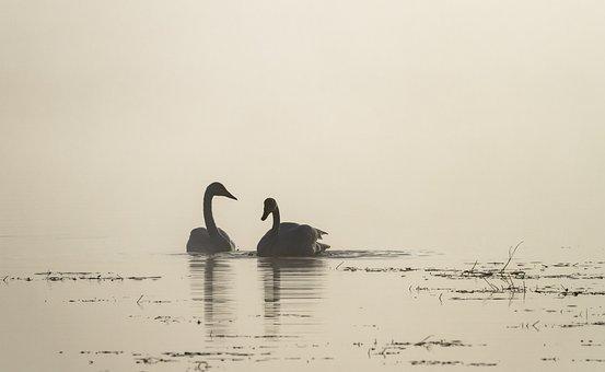 Swans, Birds, River, Fog, Whooper Swans, Waterfowls