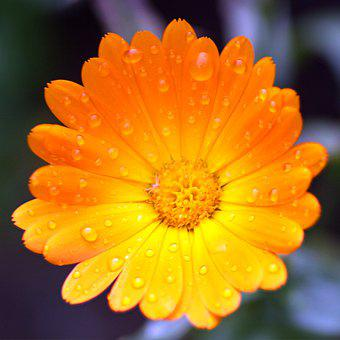 Marigold, Flower, Yellow Flower, Dew, Dewdrops, Petals