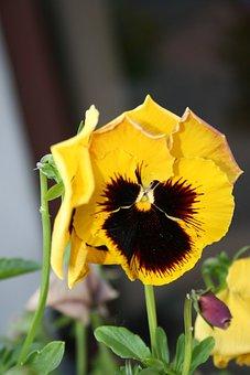 Pansy, Flower, Garden, Yellow Flower, Petals