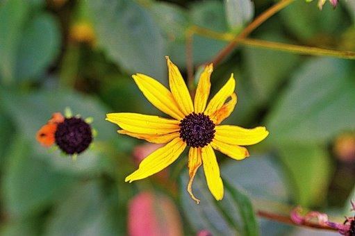 Rudbeckia, Flower, Yellow Flower, Yellow Petals, Petals