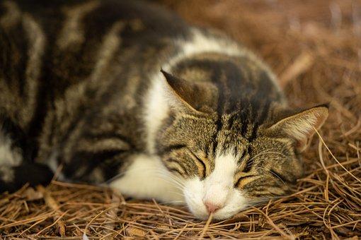 Cat, Tabby, Pet, Feline, Animal, Fur, Sleeping, Kitty