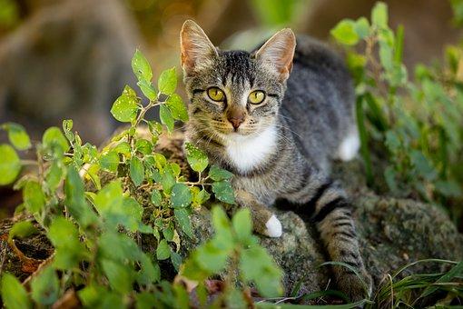 Cat, Tabby, Pet, Feline, Animal, Fur, Kitty, Whiskers