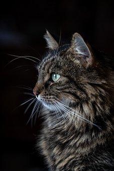 Cat, Pet, Feline, Animal, Fur, Kitty, Whiskers, Mammal
