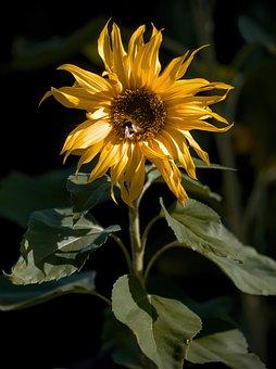 Sunflower, Yellow Flower, Garden, Nature