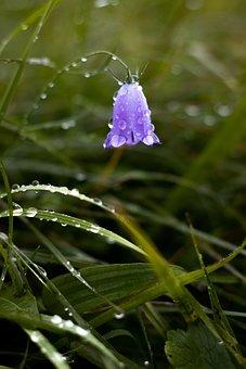Bluebell, Purple Flower, Rain Drops, Blossom, Bloom