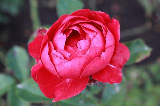 Flower, Rose, Bloom, Petals, Botany