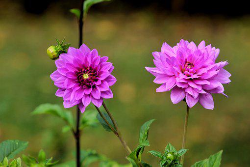 Flowers, Dahlia, Bloom, Blossom, Botany, Plant, Nature