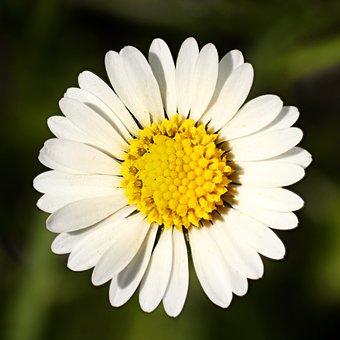 Flower, Daisy, Blossom, Bloom, Flora