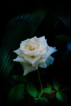 Flower, Rose, Bloom, Blossom, Botany, Plant, Nature