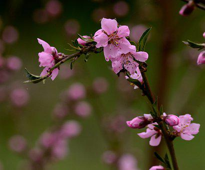 Pink Flowers, Cherry Blossoms, Nature