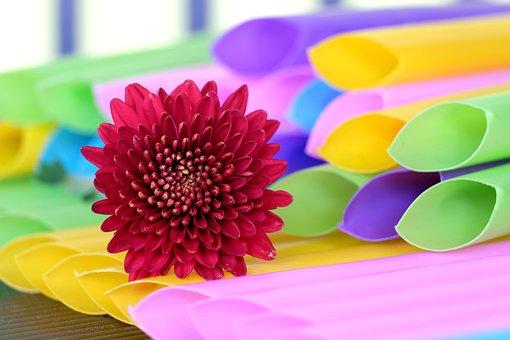 Flower, Chrysanthemum, Bloom, Blossom, Botany, Straw