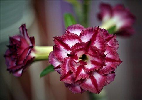 Flower, Adenium, Nature, Flora, Bloom, Blossom, Botany