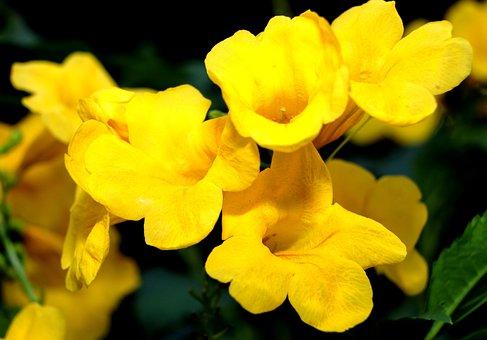 Flowers, Tecoma Stan, Nature, Bloom, Flora, Blossom