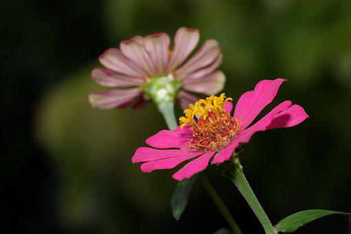 Flower, Zinnia, Nature, Flora, Bloom, Blossom, Botany