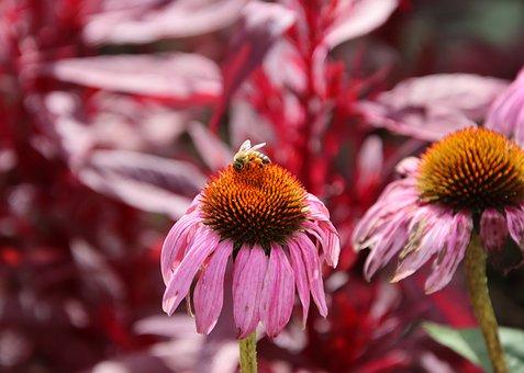 Bee, Purple Coneflowers, Pollination, Garden, Nature