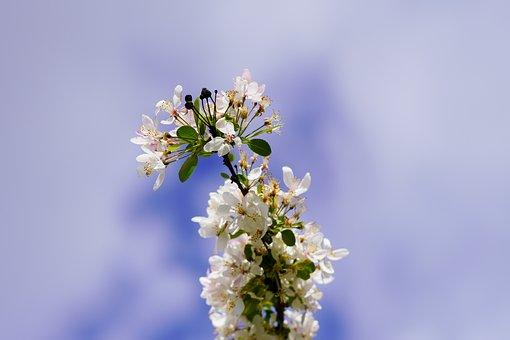 Nature, White Flowers, Cherry Blossoms, Macro, Sky