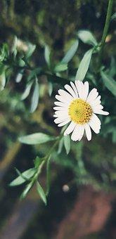Daisy, Flower, Garden, Wallpaper, Nature