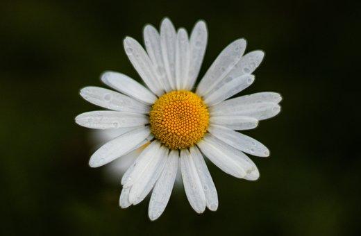 Daisy, White Flower, Nature, Blossom, Garden, Macro