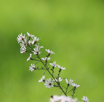 Tatarian Aster, Tatarinow's Aster, White Flowers, Aster