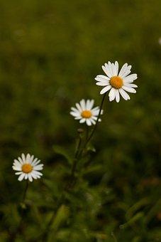 Daisies, White Flowers, Wildflowers, Meadow, Garden