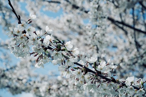 Flowers, Petals, Branches, Tree, Blossom, Spring