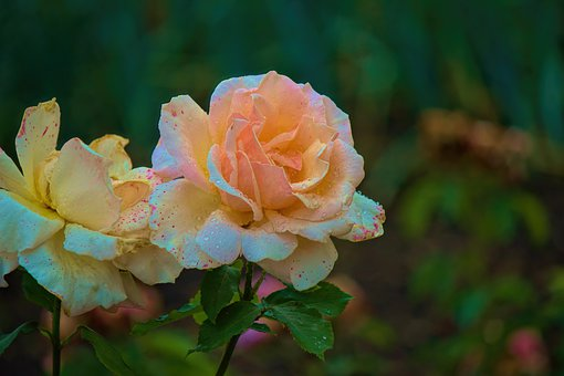 Roses, Flowers, Garden, Nature, Background