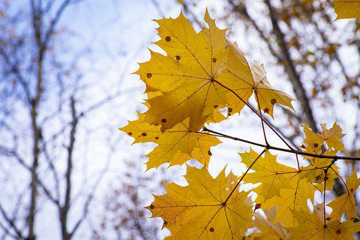 Maple, Leaves, Fall, Autumn, Maple Leaves