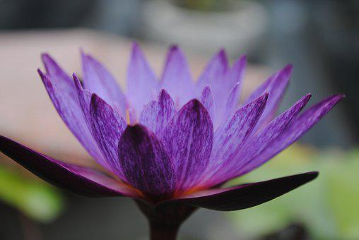 Flower, Water Lily, Bloom, Botany