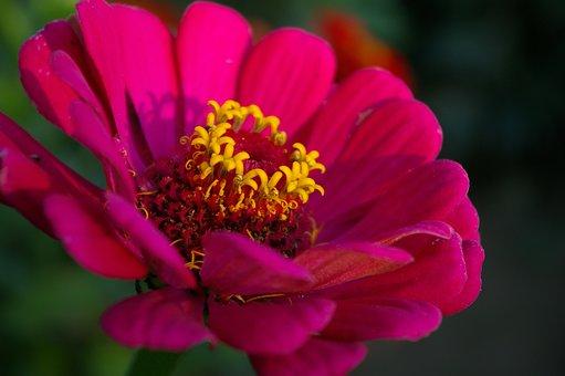 Zinnia, Flower, Pink Flower, Petals, Pink Petals, Bloom