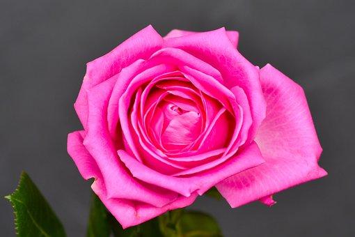 Rose, Flower, Pink Rose, Rose Bloom