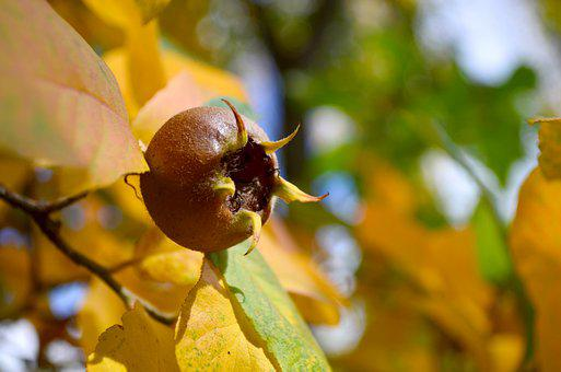 Medlar, Fruit, Branch, Mespilus, Brown Fruit