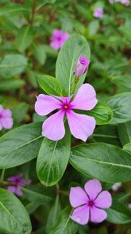 Periwinkle, Flowers, Pink Flowers, Petals, Pink Petals