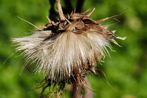 Artichoke, Flower, Seeds, Seed Head