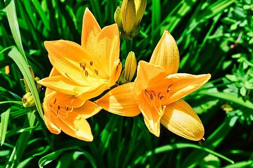 Yellow Daylily, Flowers, Plant, Daylily, Yellow Flowers